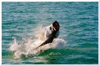 Miami Fly Fishing: tarpon