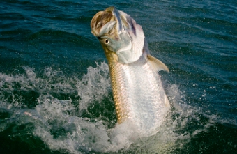 Miami Fly Fishing Guide Rates: Capt. Dave Hunt Jumping tarpon