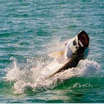Miami Fly Fishing Guide: biscayne bay tarpon on fly